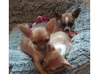 Two male chihauha puppys,all 3 vaccinations had and microchipped