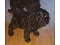 Sproodle Puppies PRA Clear Ready Now Only 3 Boys Left.
