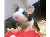 Baby fancy mice
