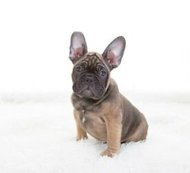 "french bulldog 12 weeks old ""Bruno"""