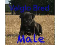 Kc reg solid black brindle Stafford puppies for sale