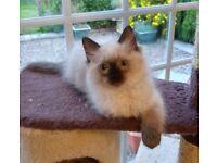 Ragdoll Kittens GCCF registered