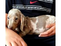 Miniature dachshund   Dogs & Puppies for Sale - Gumtree