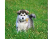 alaskan malamutes pups for sale