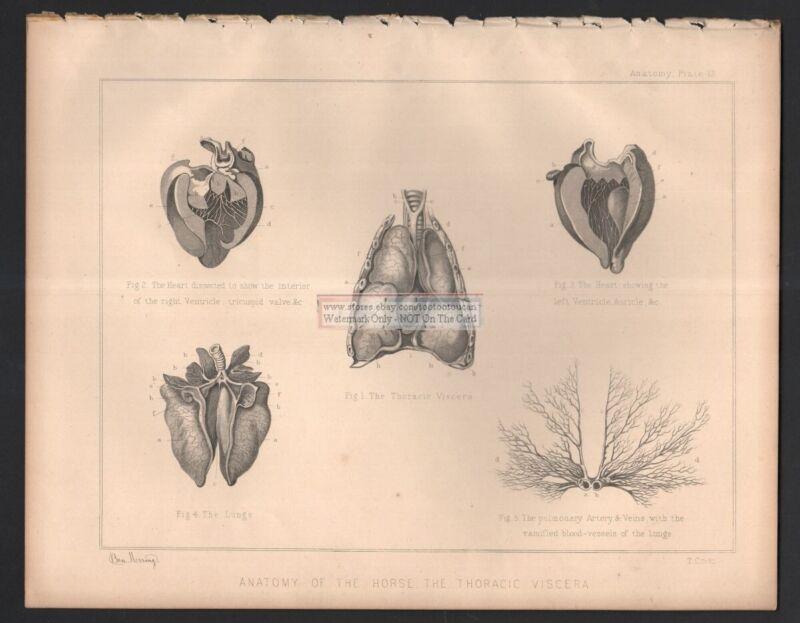 Horse Anatomy Thoracic Viscera LARGE c1890 Equine Anatomy Print