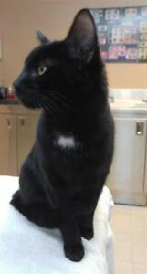 "Young Male Cat - Domestic Short Hair: ""Puff"""