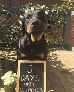 Puppies - Rottweiler X Kelpie Soldiers Point Port Stephens Area Preview