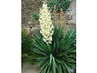 Small plants yucca plants £5