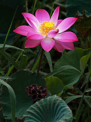 Pond Container - Nelumbo Nucifera, Fun Aquatic Pink Lotus 5 Seeds, Container Pond Plants From USA