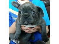 Beautiful Litter of Blue French Bulldog Puppies Available