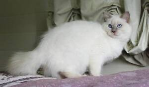 Retired pedigree ragdoll breeding queen available to loving home West Wallsend Lake Macquarie Area Preview
