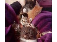 Kittens for sale ready now various colours