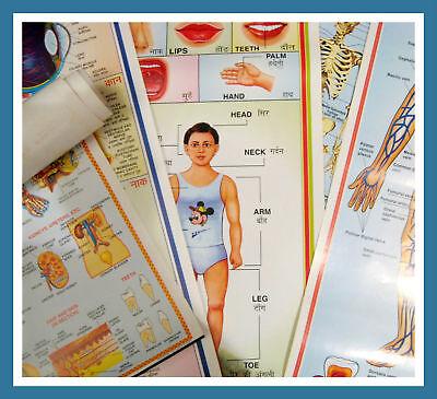 Lot 11 X 35 Health Aid Medical Diagram Anatomy Charts
