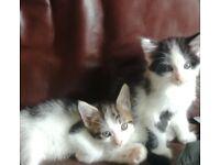 2 female kittens wormed flea treatment
