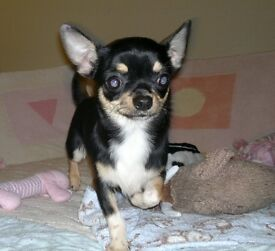 Stunning Little Tricolour Chihuahua