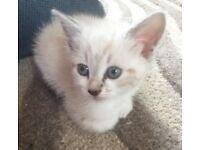 Ragdoll kitten with blue eyes