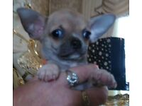 Chihuahua puppies tcup