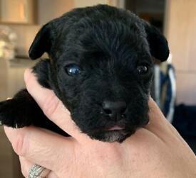 Jackapoo puppys ready 24th DECEMBER!