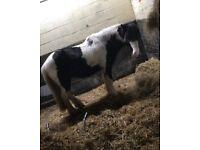 Cob x Welsh pony 13.2