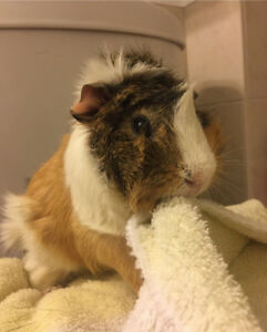 3 Guinea Pigs for Sale - $25 each