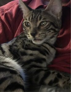 Bengal kittens, 100% Purebred, Breeding or Pet Reg. w/TICA