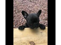 French Bulldog Pup Male Ready Now