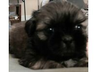 Shih tzu puppies pure bred*REDUCED*REDUCED*TO FIND LOVING HOMES