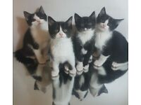 1 Boy left! Cute friendly Black white kittens