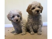 Gorgeous RARE F1b party cockapoo PUPPIES