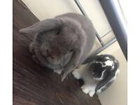 Two mini lop rabbits