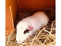Guinea pigs and indoor and outdoor hutch for sale