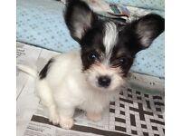 Chihuahua/quarter yorkie puppies