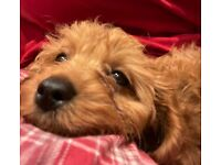 Adorable Cavapoo in need of rehoming