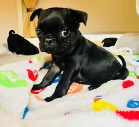 REDUCED* 3 beautiful black pug puppies