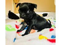 5 beautiful black pug puppies
