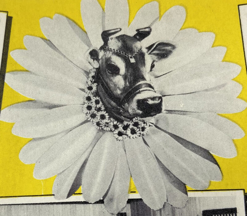 c.1952 Bordens Elsie Follow Cow Beauregard Advertising Dairy Milk Postcard