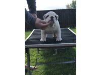 Stunning KC registered bulldog puppies for sale