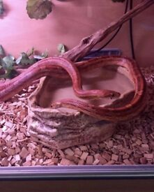 2 Corn Snakes & Full Set Up 4ft Vivarium