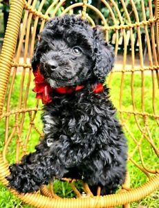Toy poodle puppies: parti litter full DNA clearance