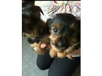 Kc reg and chipped mini yorkies