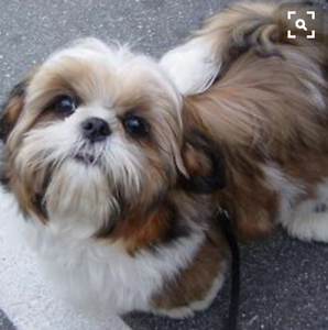 Wanted to buy Shih tzu puppy Cairns Cairns City Preview