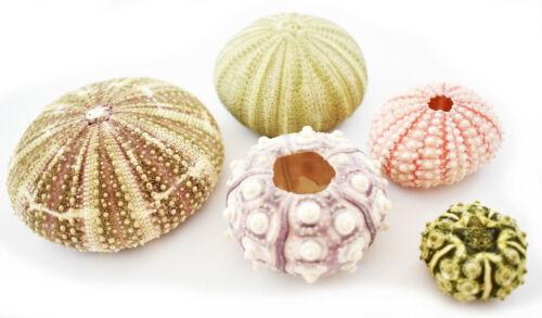 Sea Urchin Sampler: Alfonso, Sputnik, Pink, Green and Mini Sea Urchins - 5 pc