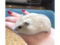 2 left! Cream Baby Russian Dwarf Hamsters
