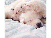 White German Shepherd puppies ...WARNING...