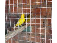 Fife Canaries - cocks and hens - last years breeding - £10 each