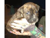 Staff pups..6 left 🐶