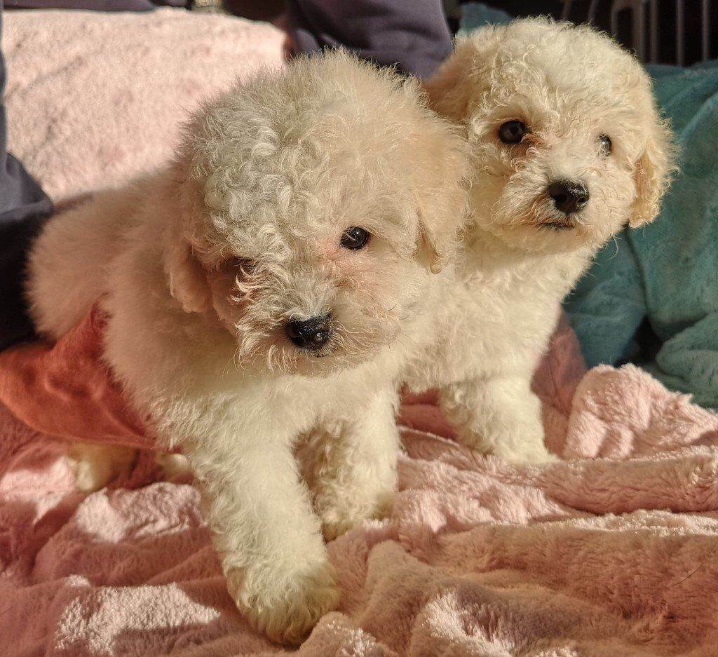 KC Registered Bichon Frise puppies top pedigree | in Armadale, West Lothian  | Gumtree