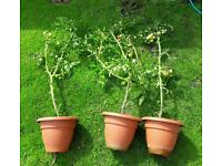 Free mature tomato plants. Covered in fruit. Otherwise going in bin