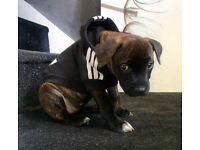 Puppy staff cross mastiff