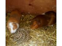 2 Guinea Pigs And 5ft Hutch